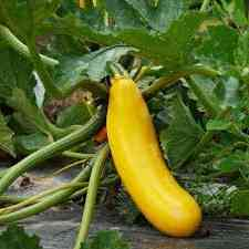 courgette gold